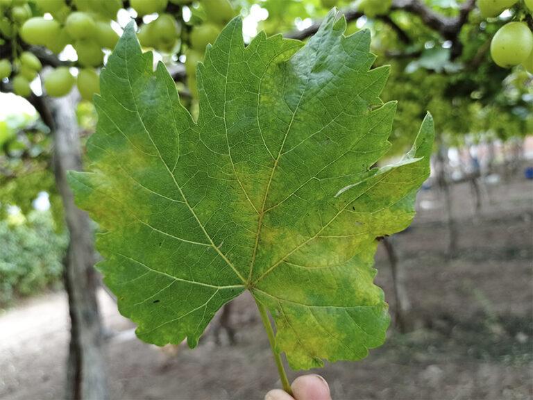 Plasmopara-viticola-1-768x576 (1)