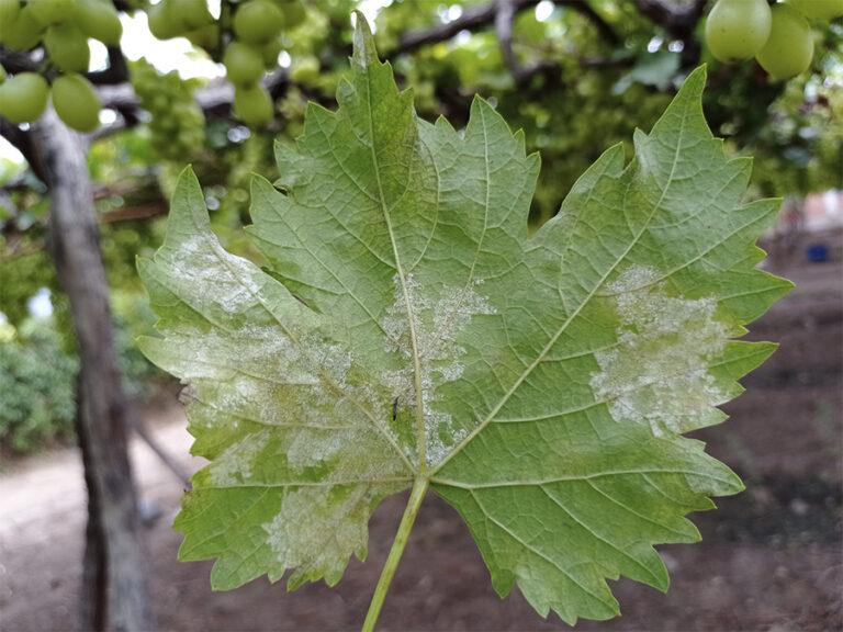 Plasmopara-viticola-2-768x576 (1)